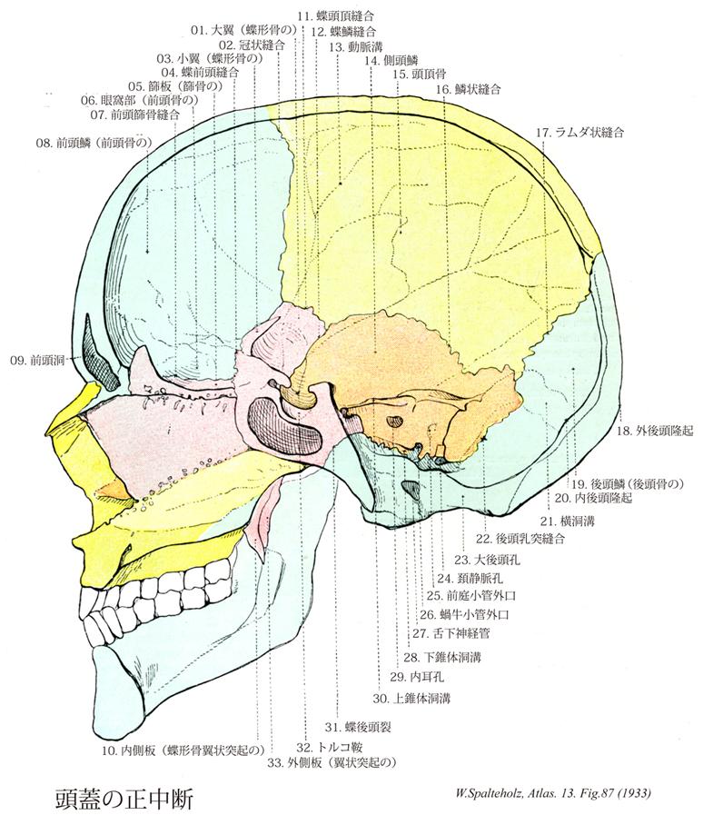 頭蓋骨 縫合線 名称