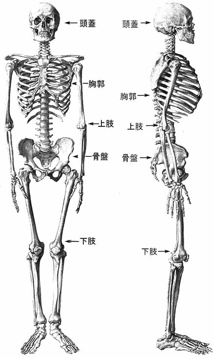 osteologia.jpg (38287 バイト)