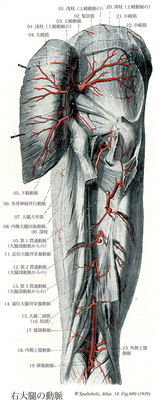 Terminologia Anatomica(TA)に基づく解剖学
