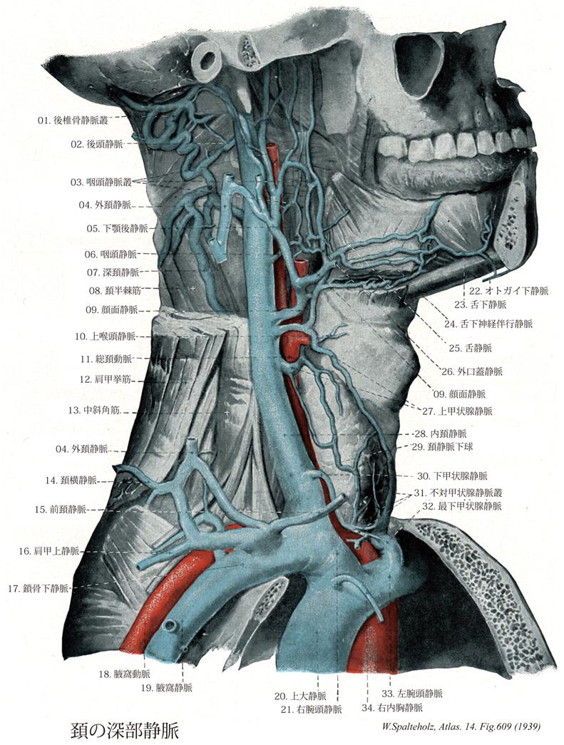 孔 頸 静脈 内頸静脈とは