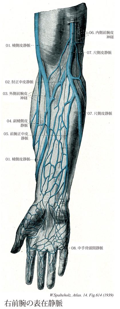 皮 静脈 正中 肘