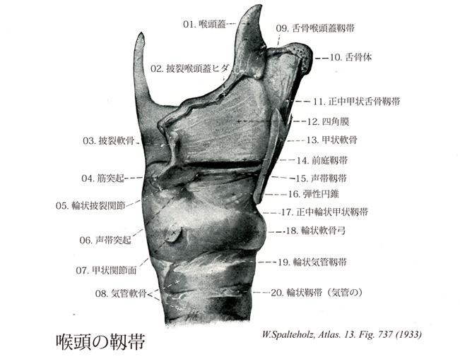 軟骨 甲状 軟骨 輪状