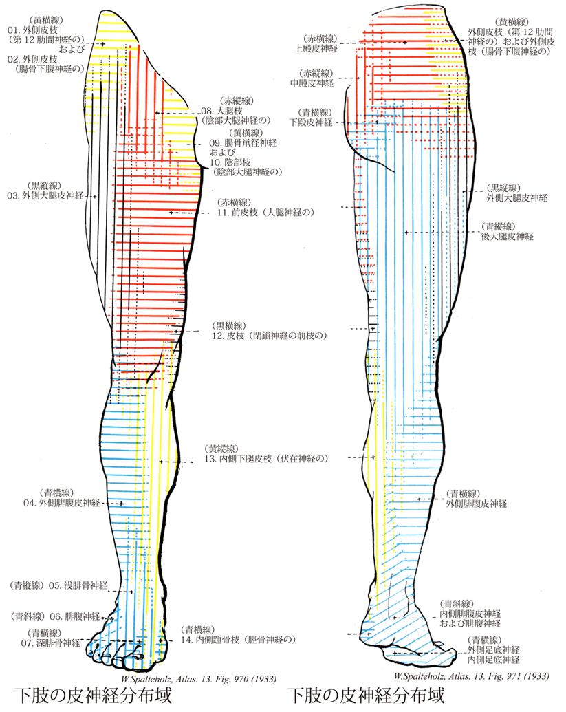 腹 神経 腓